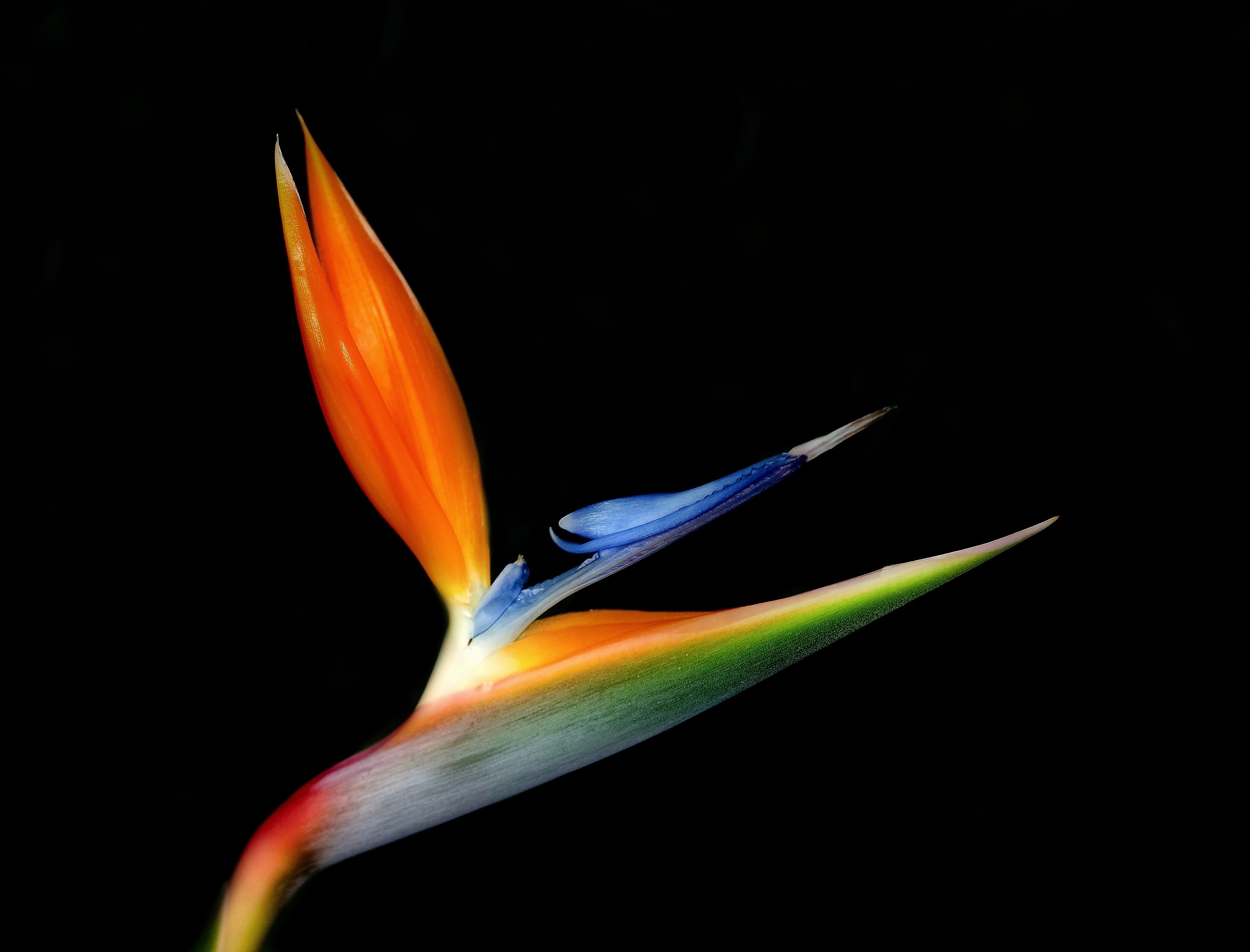bird-of-paradise-flower-1835094